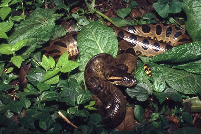Anaconda verde