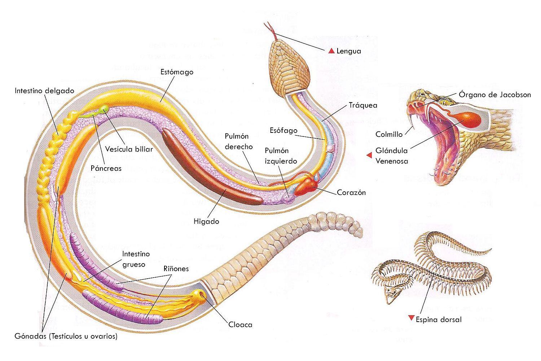Anatomía de las serpientes: distribución y nombres de órganos internos