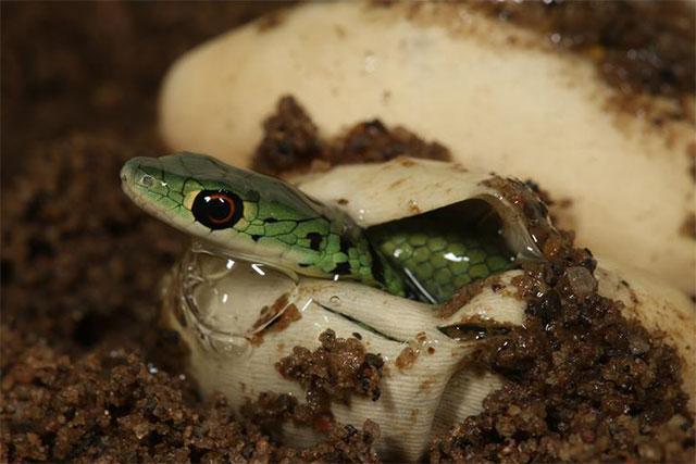 Nacimiento de una serpiente