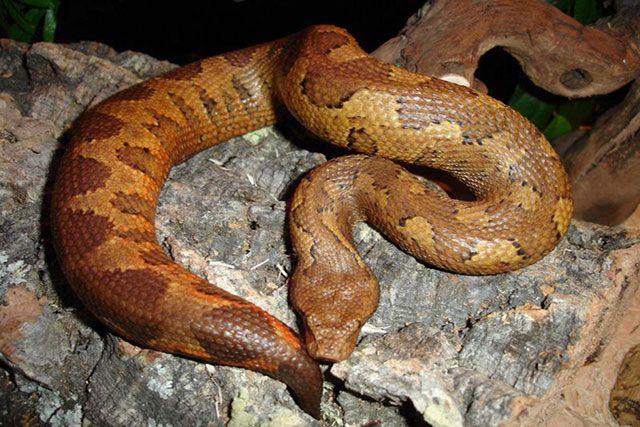 Candoia Aspera - Boa Terrestre de Nueva Guinea