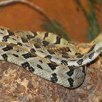 Cascabel-de-los-bosques-Crotalus-horridus