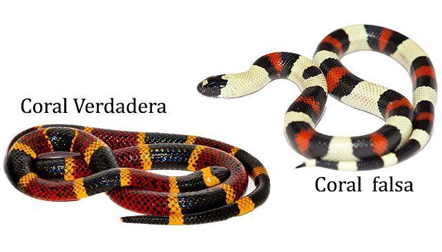 Serpiente coral verdadera vs serpiente coral falsa