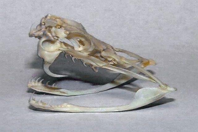 Esqueleto de serpiente - cráneo
