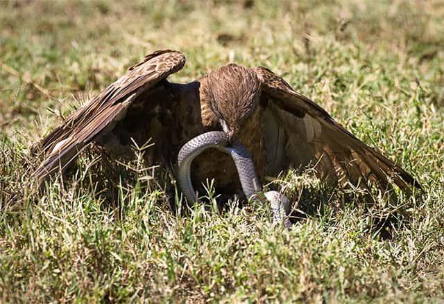 Depredadores de serpientes - Águila