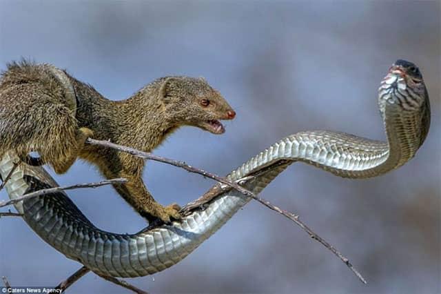 Depredadores de serpientes - Mangosta