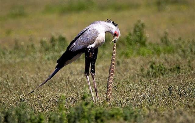 Depredadores de serpientes - Pájaro secretario