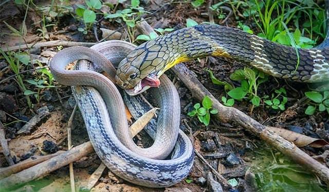 Depredadores de serpientes - serpientes