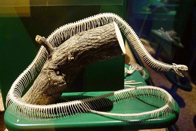 Esqueleto de serpiente