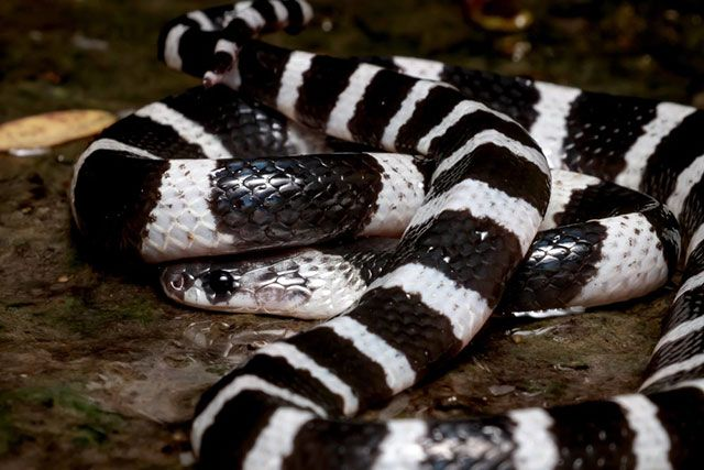 serpiente Krait – Bungarus