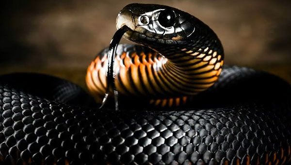 serpiente mamba negra