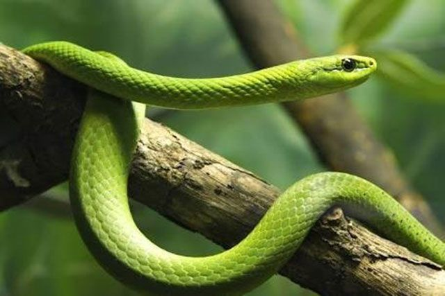 Mamba verde oriental