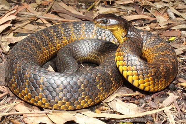 Cobra tigre - Notechis scutatus