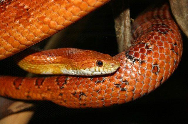 Pantherophis guttatus / Serpiente del maíz.
