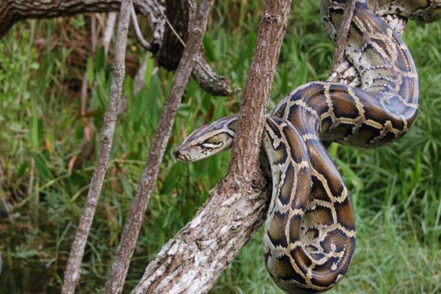 Pitón birmana - Python bivittatus