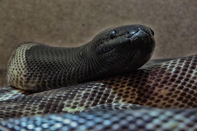 Pitón de cabeza negra – Aspidites melanocephalus