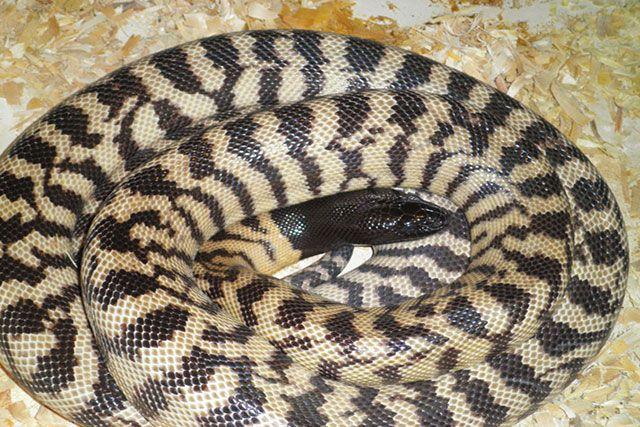 Pitón de cabeza negra / Aspidites melanocephalus
