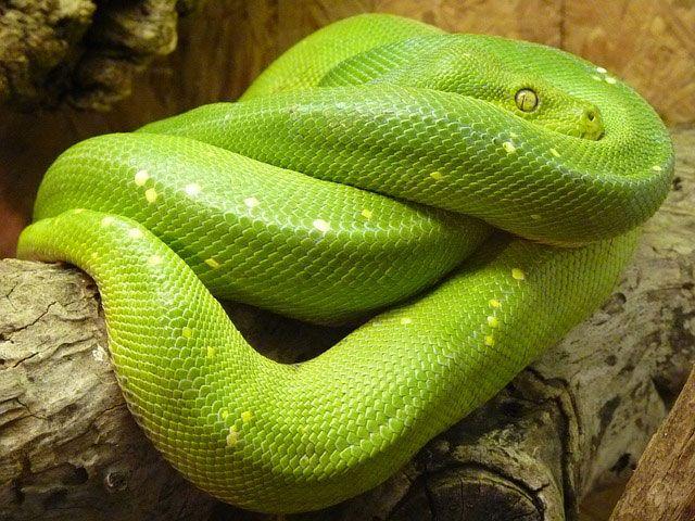 Pitón verde de árbol - Morelia viridis