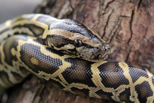 Pitones birmanas - serpiente domestica