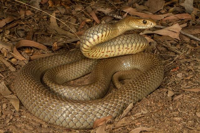 Serpiente Marrón del este - Pseudonaja textilis