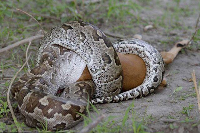 Pitón reticulada - Python reticulatus