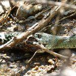 Qué comen las serpienes