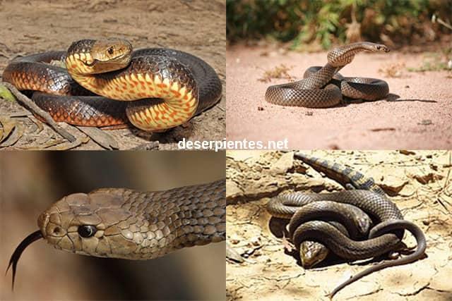 Serpiente Marrón Oriental - Pseudonaja textilis