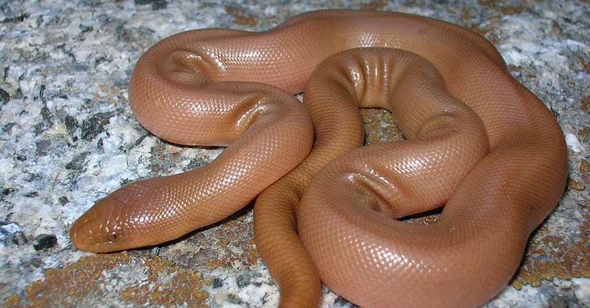 Serpiente boa de caucho / serpiente boa de goma