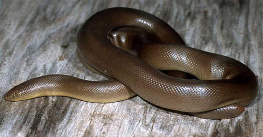 Serpiente de caucho / serpiente de goma