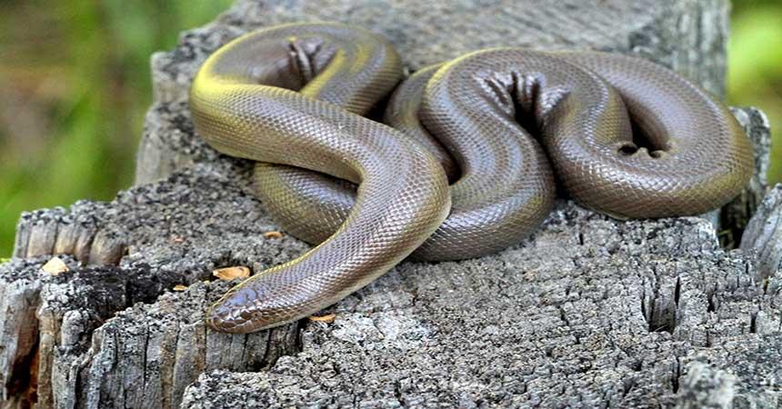 Serpiente Boa de Goma o Boa de Caucho
