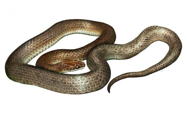 Serpiente Misteriosa de la Cena / Cenaspis aenigma