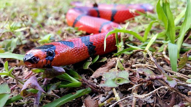Serpientes domésticas - serpiente de leche