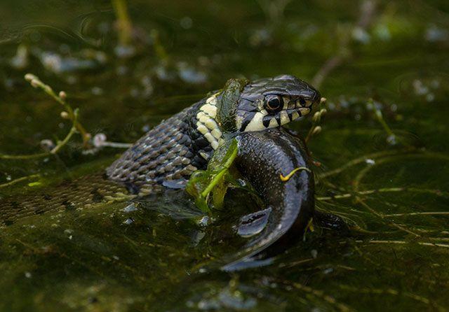 Tracto gastrointestinal de la serpiente