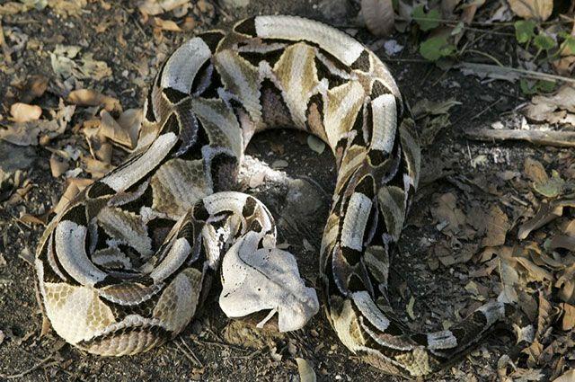 Víbora de Gabón (Bitis gabonica)
