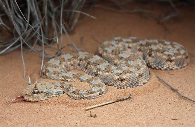Ceraste cerastes - Víbora cornuda del desierto