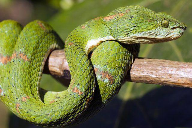 Víbora de pestañas - Bocaraca - Bothriechis Schlegelii
