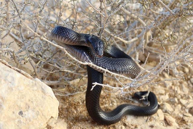 Walterinnesia aegyptia / Serpiente negra del desierto