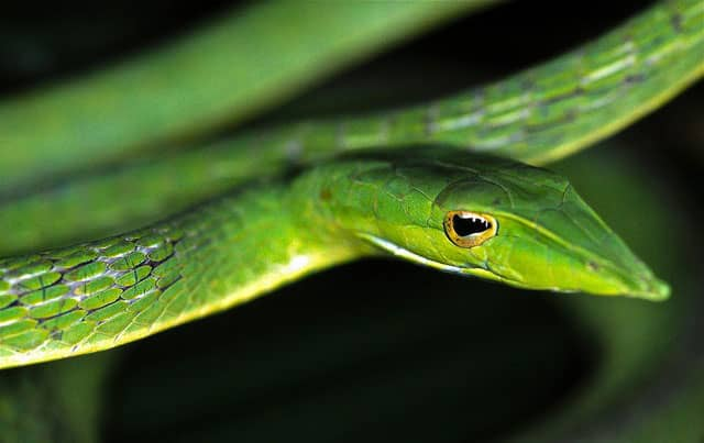 serpiente nasuto asiática / Ahaetulla nasuta
