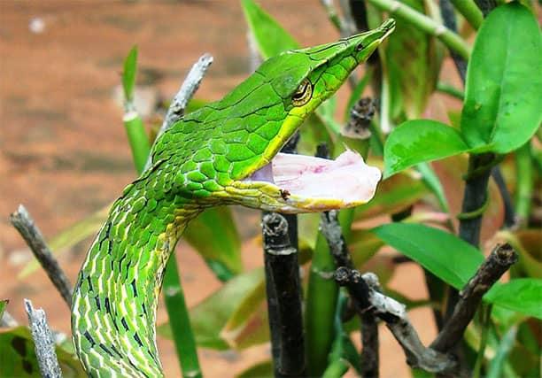 Ahaetulla nasuta- Serpiente verde de la vid común