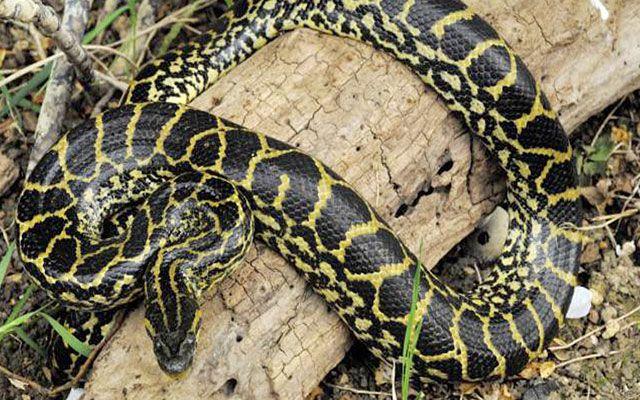 anaconda-amarilla