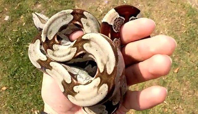 Boa constrictor constrictor - boa de cola roja