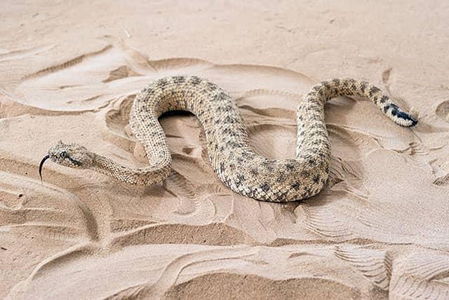 cómo se desplazan las serpientes