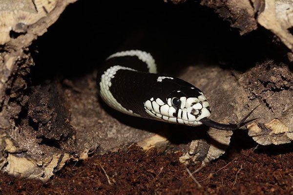comunicación química de las serpientes