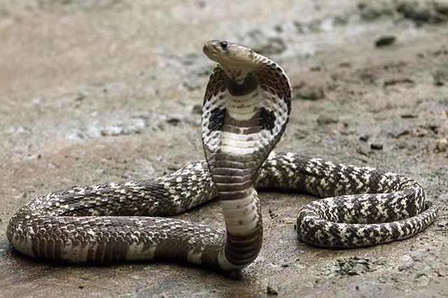 Serpiente Cobra Real