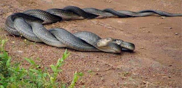 Cómo se aparean las serpientes