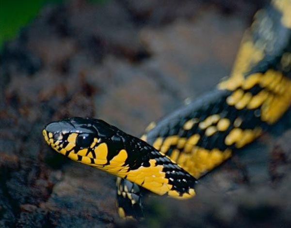 Culebra (Colubridae)