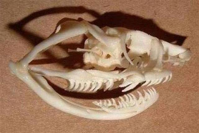 dientees de serpientes opistoglifos