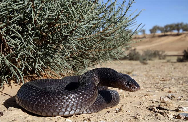 Cobra del desierto negra - Walterinnesia aegyptia