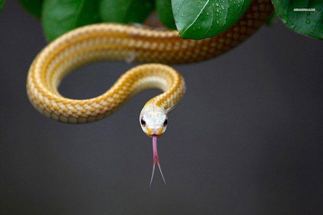 Por qué las serpientes agitan sus lenguas