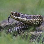 Lengua de serpiente