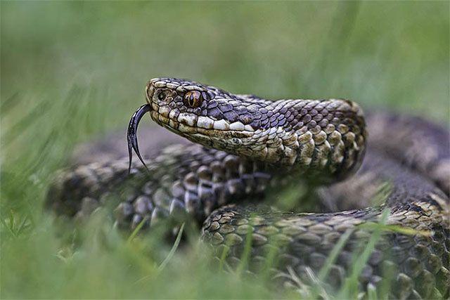¿Por qué las serpientes agitan sus lenguas?